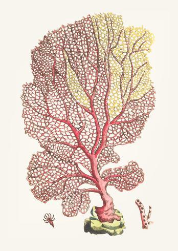 Ilustración vintage de coral gorgonian fan