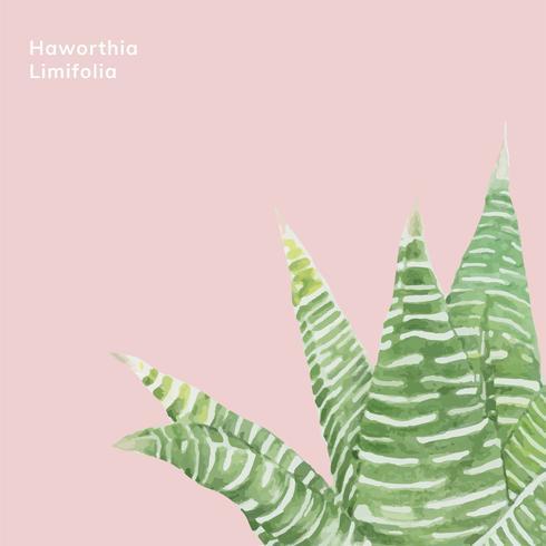 Handritad haworthia limifolia fairy washboard