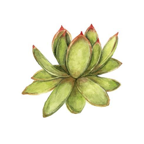 Dibujado a mano echeveria agavoides labial suculenta