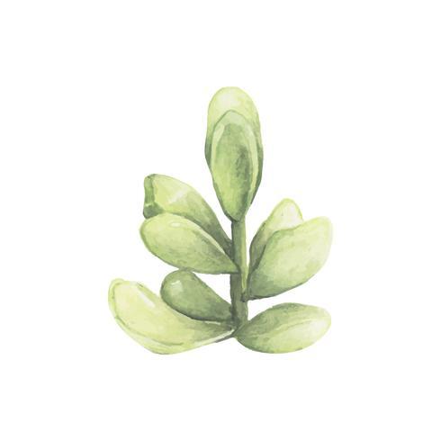 Hand getrokken pachyphytum oviferum succulent