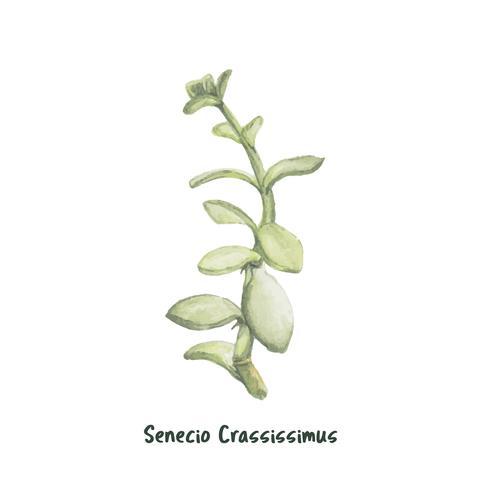 Mão desenhada senecio crassissimus humbert suculenta
