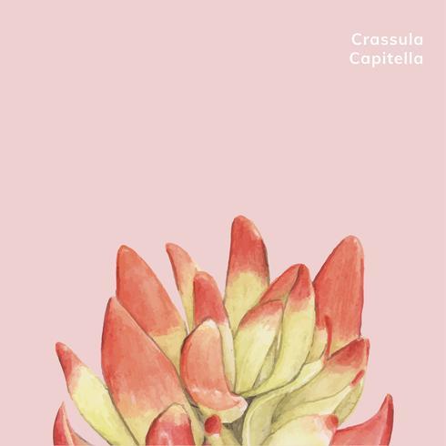 Crassula capitella succulenta disegnata a mano