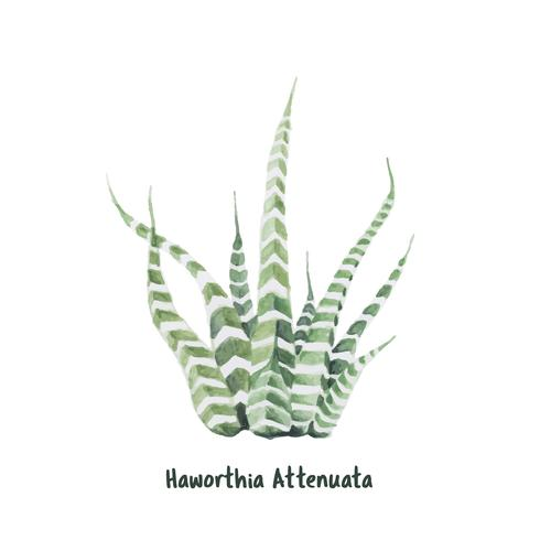 Hand drawn haworthia attenuata zebra Plant