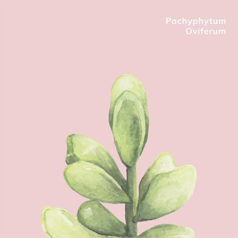 Mão desenhada suculenta pachyphytum oviferum