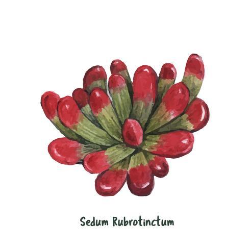Hand gezeichnetes Sedum rubrotinctum Succulent