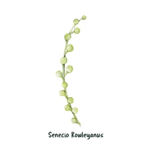 Hand getrokken koord van succulente parels