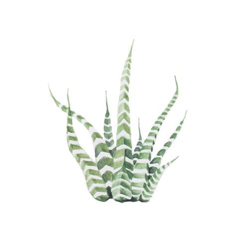 Handdragen haworthia attenuata zebra Plant