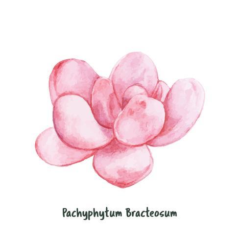 Hand drawn pachyphytum bracteosum succulent