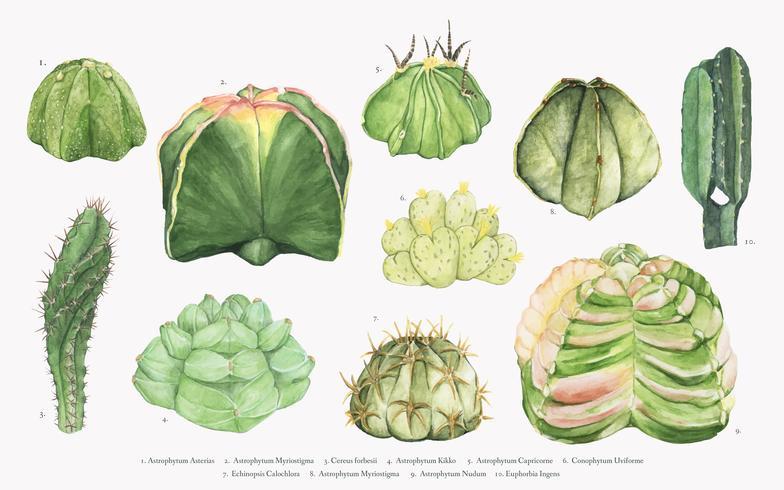 Collection de cactus astrophytum dessinés à la main
