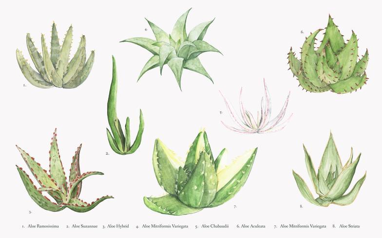 Samling av handgjorda aloe växter