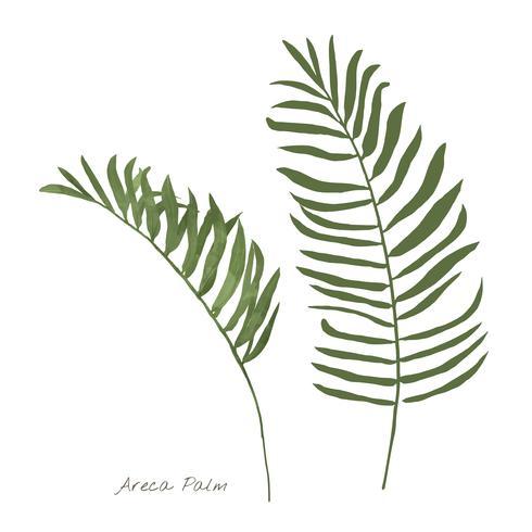 Areca palmblad geïsoleerd op witte achtergrond