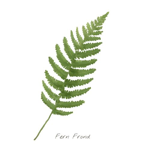 Fern frond leaf isolated on white background