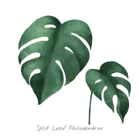 Split leaf philodendron isolerad på vit bakgrund