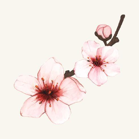 Handdragen körsbärsblomma blomma isolerad