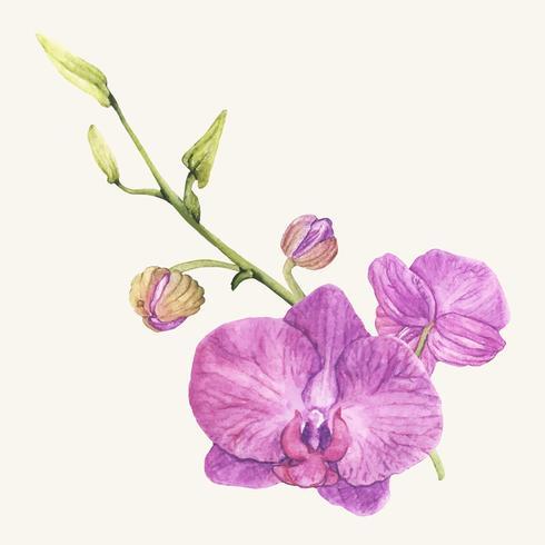 Handdragen orkidé blomma isolerad