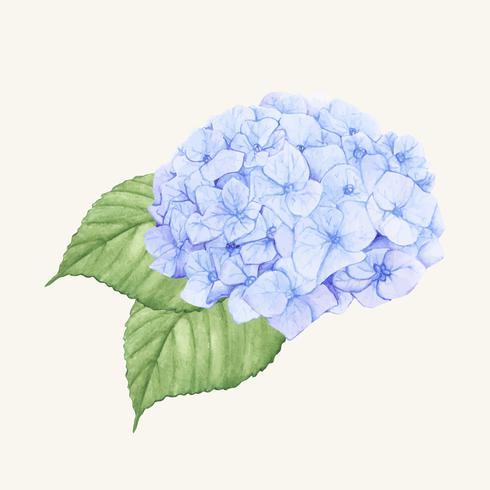 Fiore di Ortensia disegnato a mano isolato