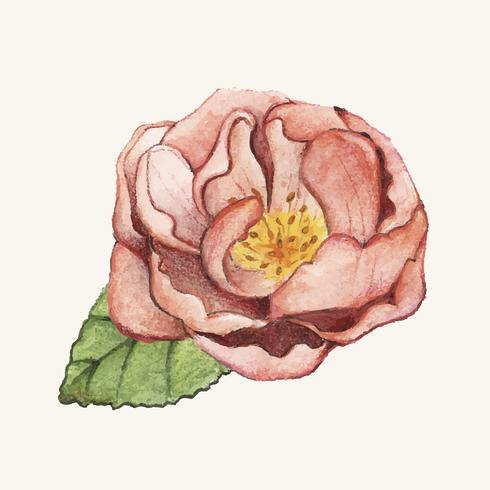 Flor de peônia desenhada mão isolada