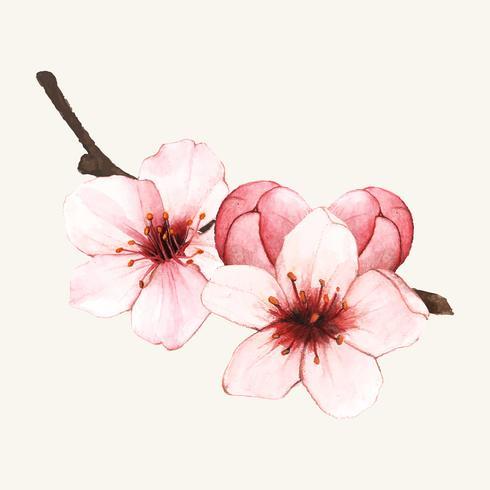 Flor de cerejeira desenhada de mão isolada