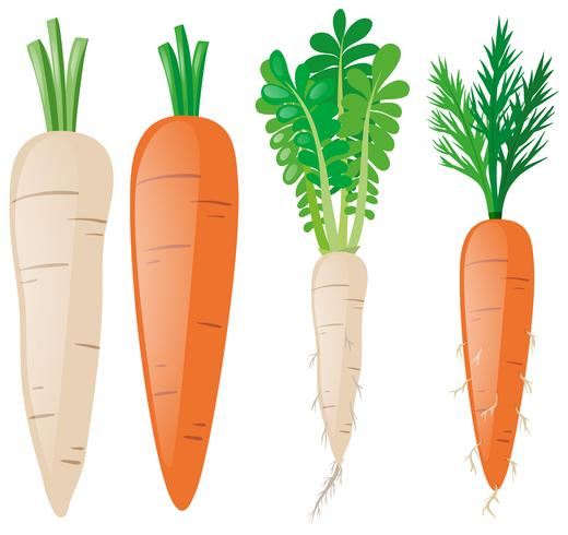 Carrots in different shapes vector