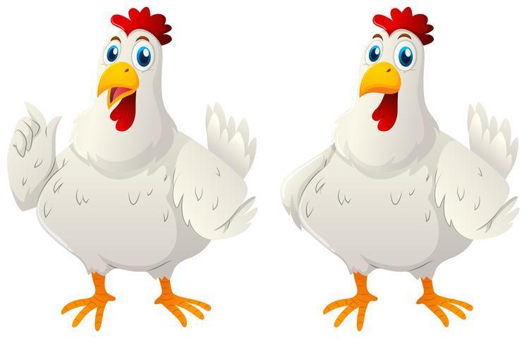 Dos gallinas blancas sobre fondo blanco