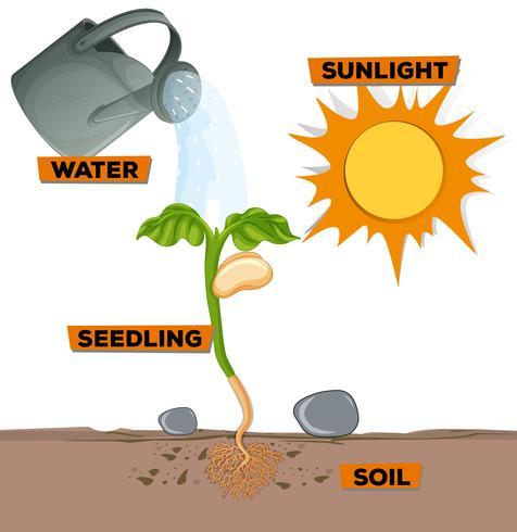Diagram som visar växter som växer från vatten och solljus