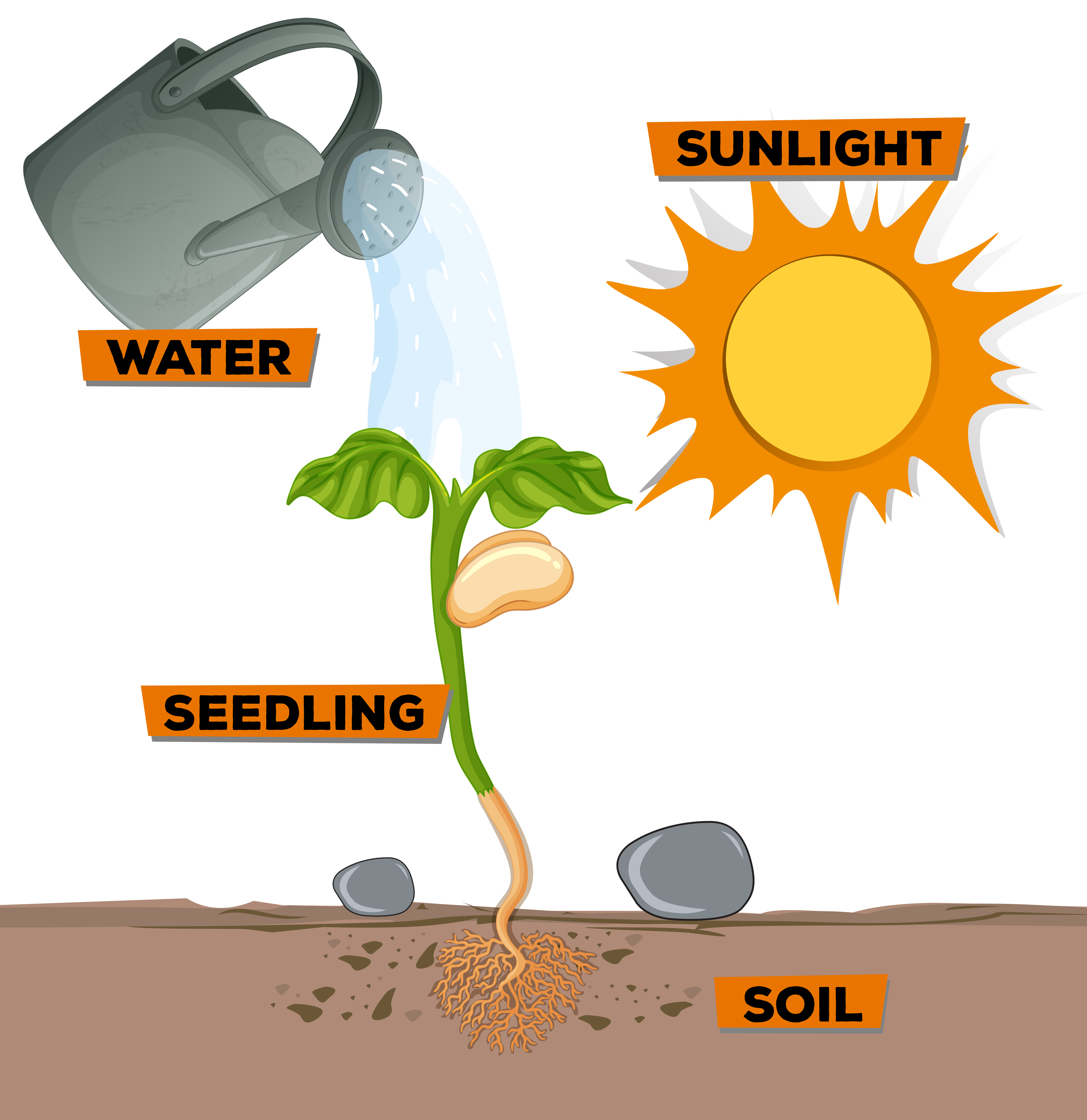 Diagram showing plant growing from water and sunlight ...