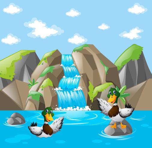 Dois patos brincando na água