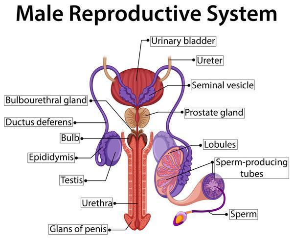Grafico che mostra il sistema riproduttivo maschile vettore