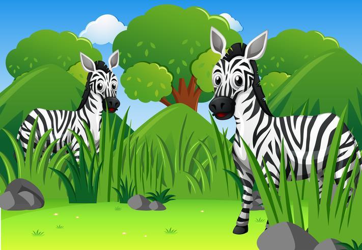 Two wild zebras in forest