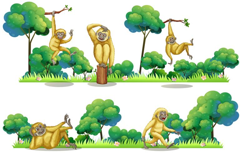 Gibbons living in the forest
