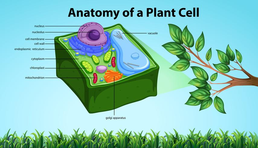 Anatomía de la célula vegetal con nombres.