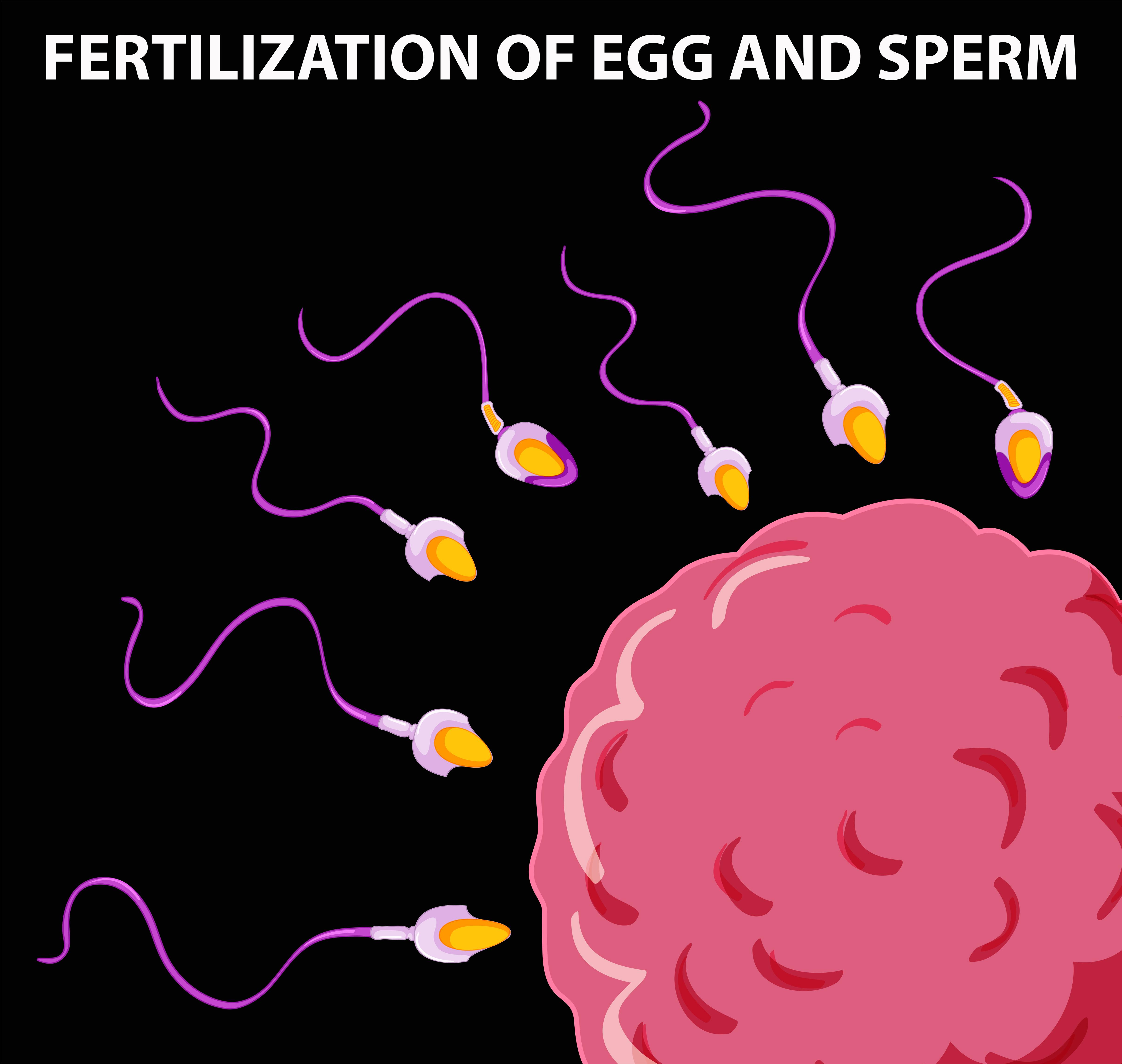Diagram of sperm fertilizing an egg