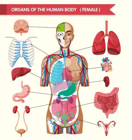 Organi del diagramma del corpo umano