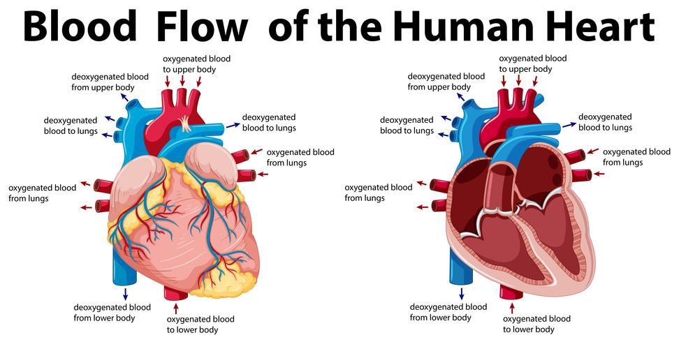 Blodflödet av det mänskliga hjärtat
