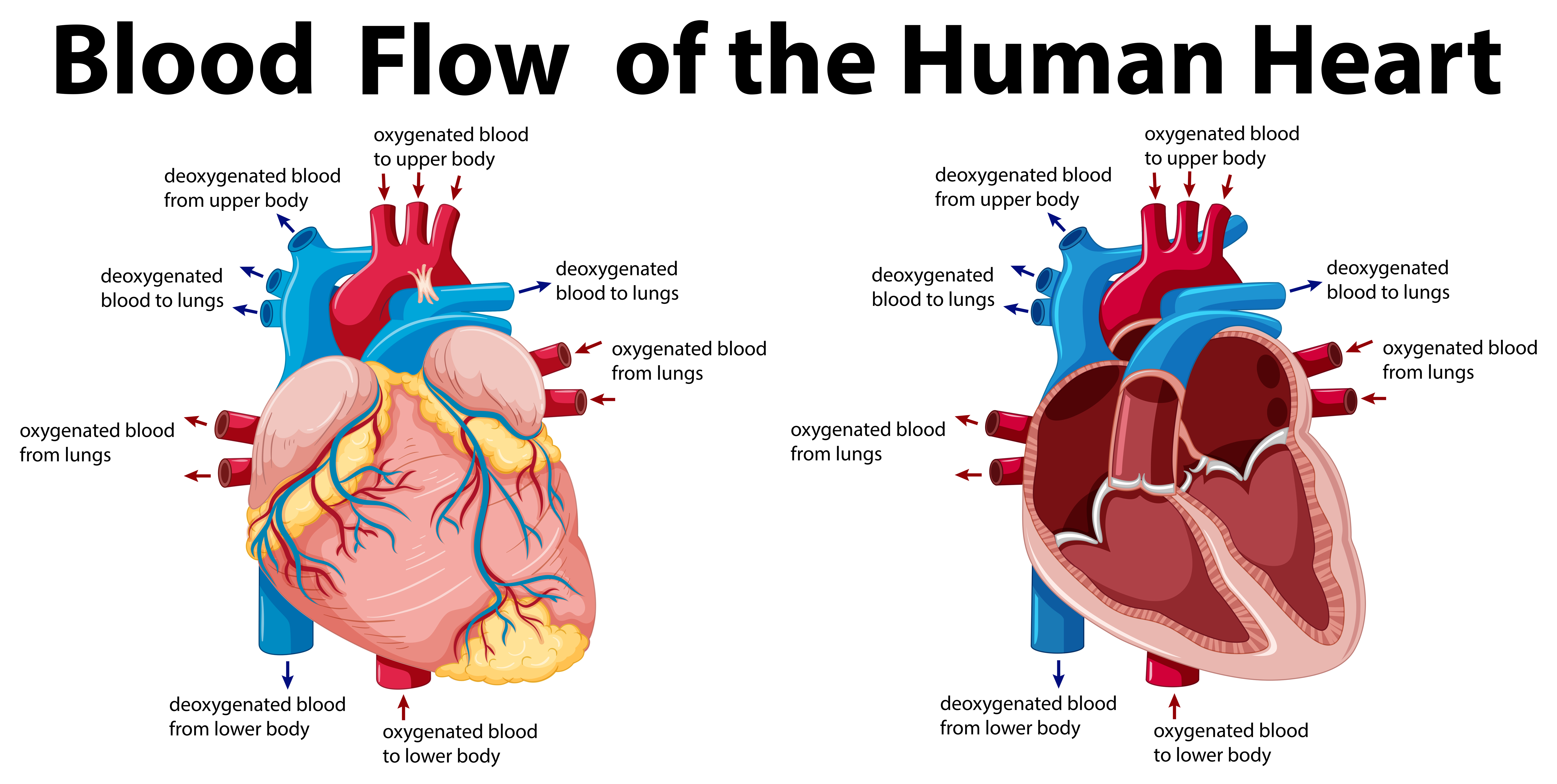Simple Heart Heart Diagram Images Pictures Becuo
