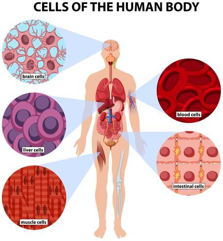 Zellen des menschlichen Körpers