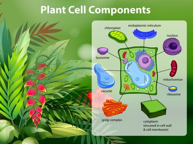 Plantcel componenten diagram