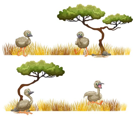 Struisvogels die in het gebied lopen