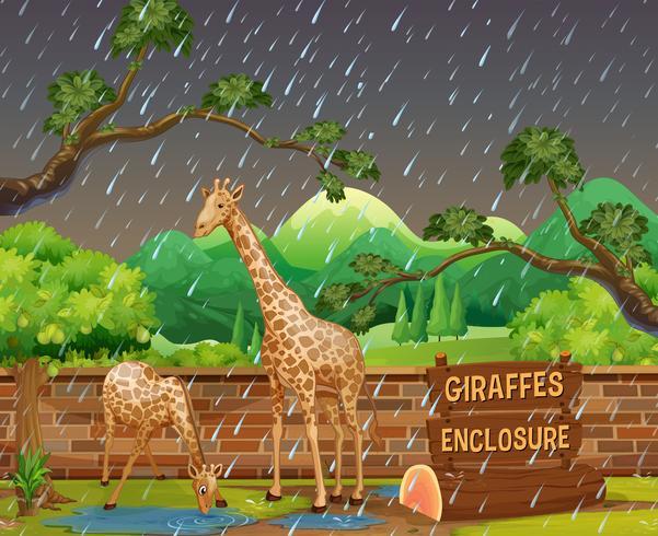 Scena dello zoo con due giraffe sotto la pioggia