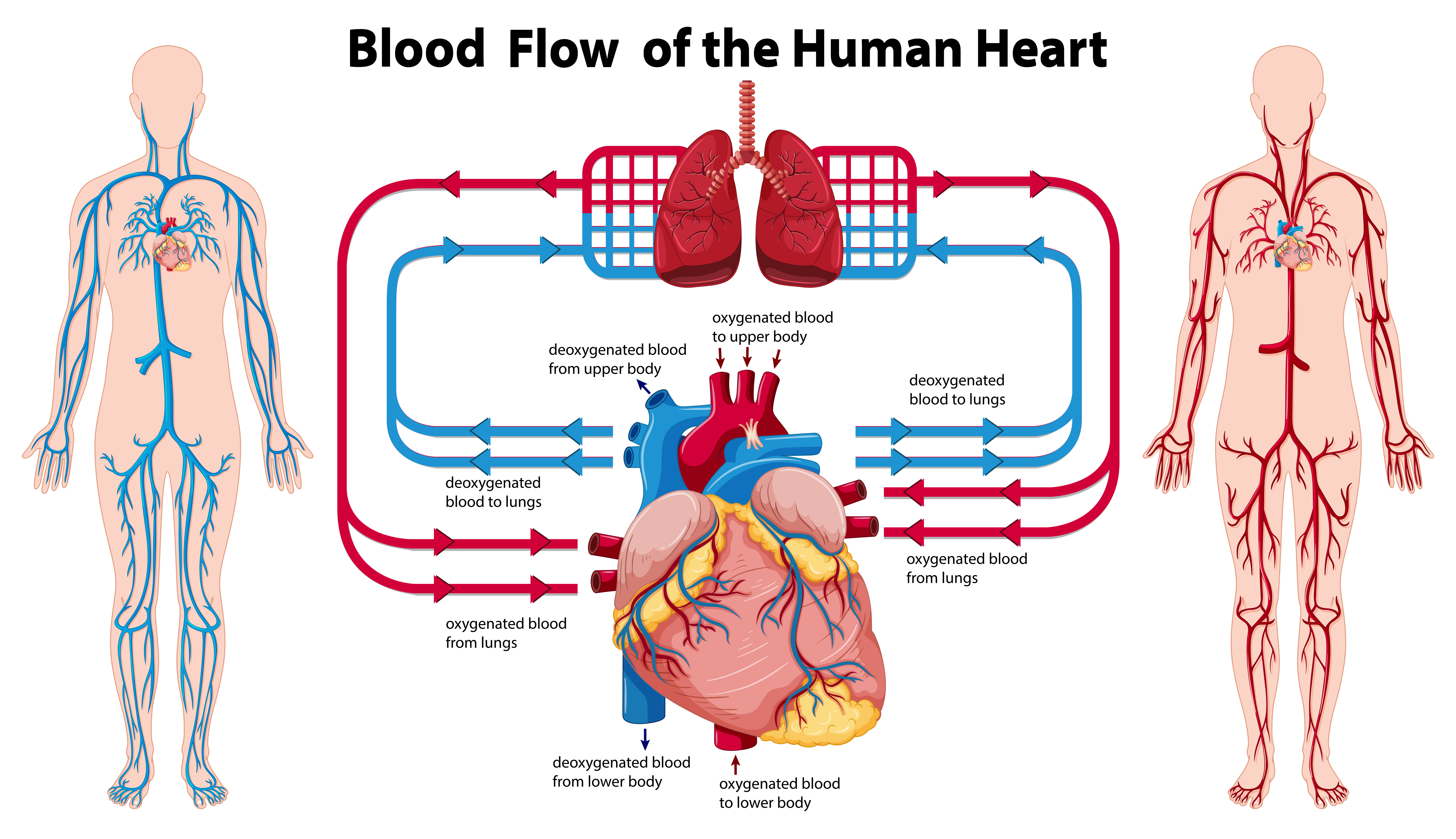 Diagram showing blood flow of the human heart - Download ...