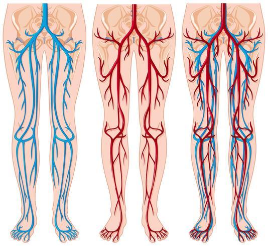 Diagram som visar blodkärl i människa