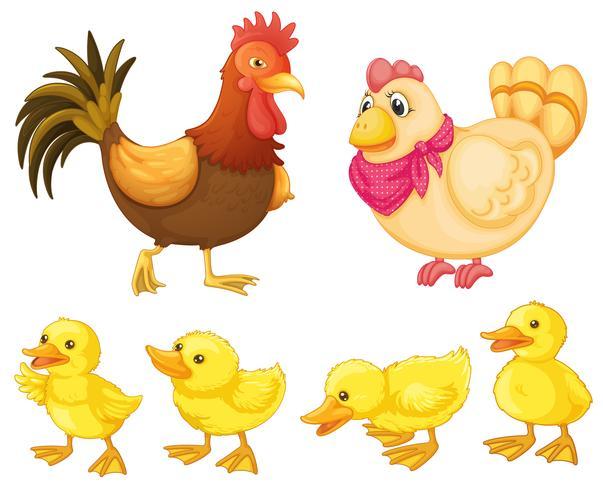 Família de frango