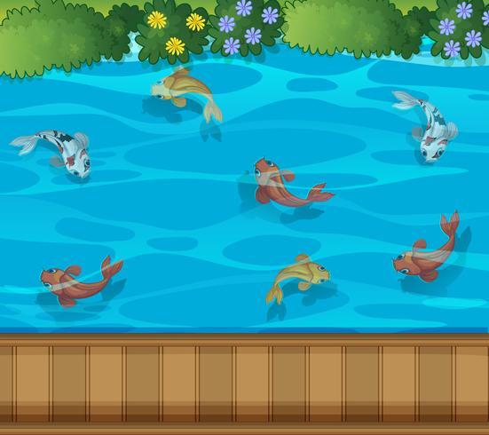Vista aerea dello stagno di pesci di Koi