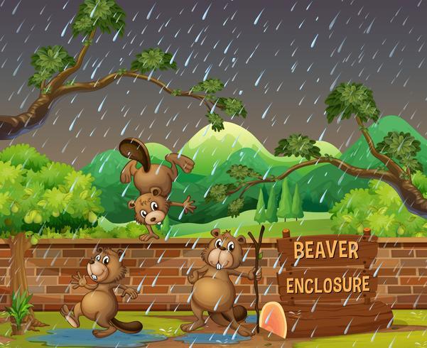 Tres castores en el zoológico en el día lluvioso