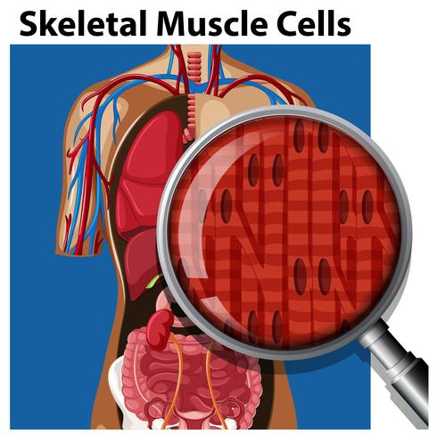 Un vecteur de cellules musculaires squelettiques