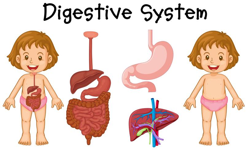 Girl and digestive system diagram
