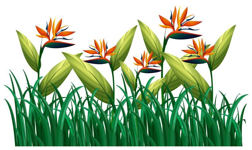 Många fågelparadis blommar i busken