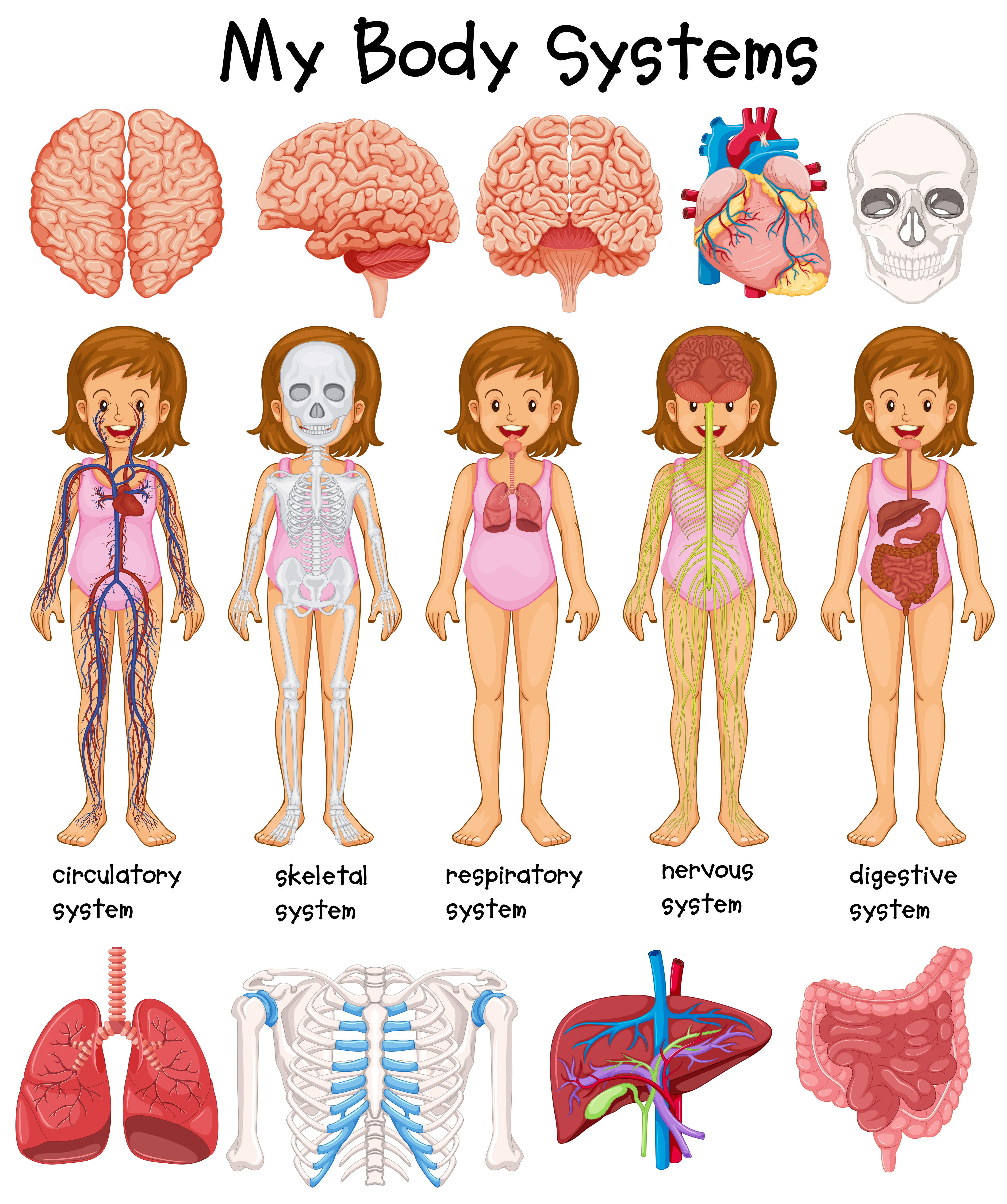 Human body systems diagram - Download Free Vectors ...
