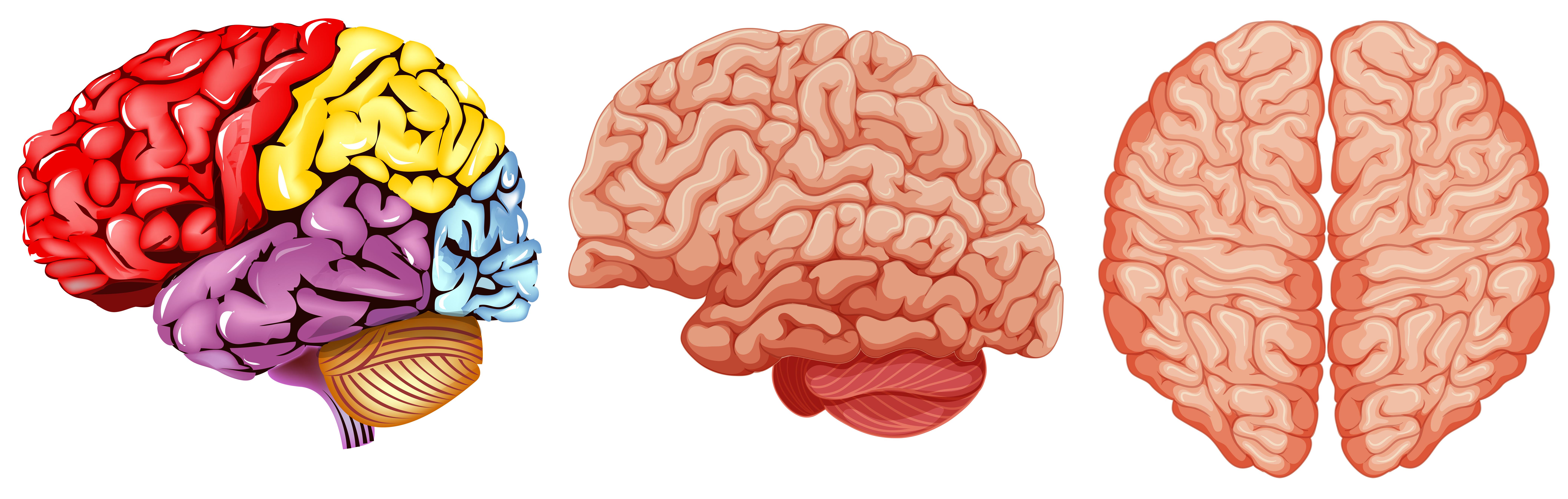 Different diagram of human brain - Download Free Vectors ...