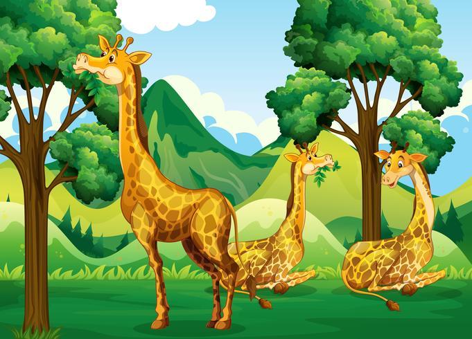 Um grupo de girafa na floresta